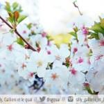 Hanami : le bonheur des cerisiers en fleurs au jardin Albert Kahn