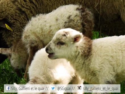 Ferme du piqueur, moutons @Silly, Gallieni et le quai
